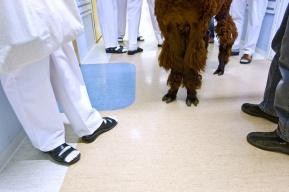 Tessi-Alpakka teki lemmikkiterapiavierailun Kotilahden sairaalaan.